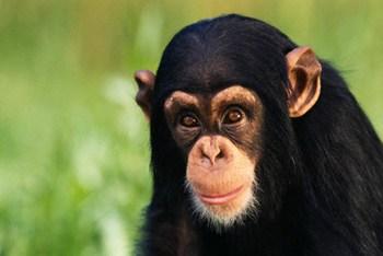 Sobre Chimpanzés e o Gênero Humano